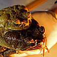 Amplexing toads
