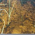 Cane toad tadpoles