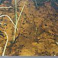 Cane toad tadpoles