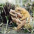 Amplexus at water