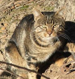Feeral cat trapped by PhD student Tony Buckmaster. Copyright Tony Buckmaster.