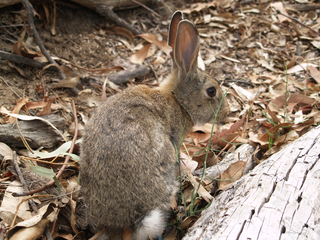european rabbit. Picture by Brian Cooke.