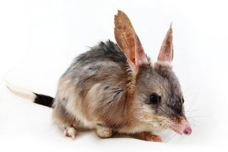 Bilby photo by Gary Beilby 2008 (copyright)
