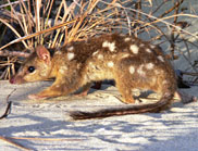 Northern quoll picture by Craig Wood - from an interesting CSIRO study