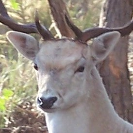 The Queensland Government is trying to get rid of deer. A new Bill in NSW might encourage their proliferation.