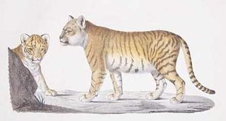 Geoffrey St Hilaire (1772–1844) painting of a Liger in 1799. Breeding different species is generally considered old fashioned and unethical, but not for Savannah cat breeders keen to make a buck. Copyright expired.