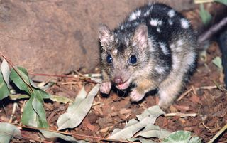 The Northern Quoll is seriously affected by toads. Copyright Rob Dockerill 2007