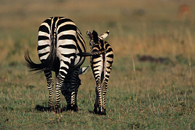 The view that African species can be saved by Australian game reserves keeping them for shooting is a load of horses ass. GettyImage Copyright 2009.