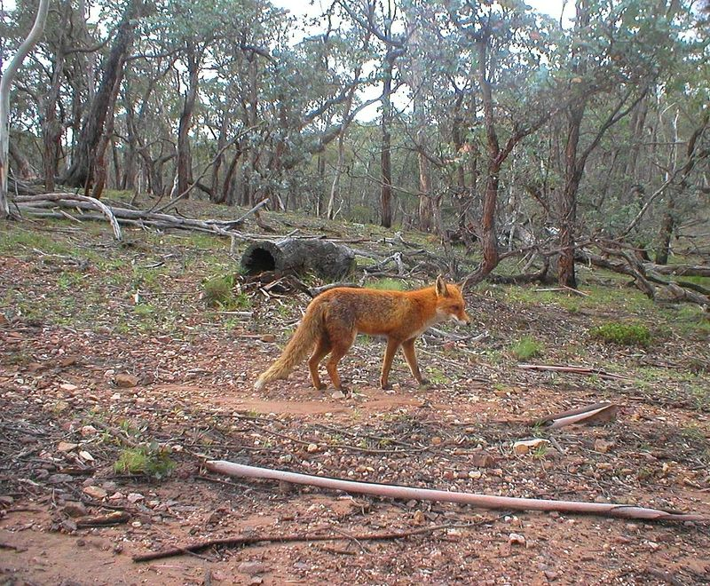 033_Foxes occupy a wide range of environments, including ope