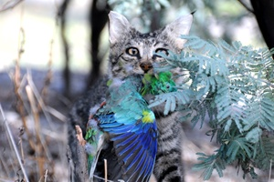 Stuffed cat and stuffed bird. This is a mock up of what happens hundreds of thousands of times a day in the Australian bush