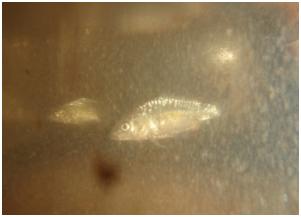 Daughterless carp auburn uni