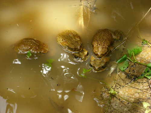 Multiple toads