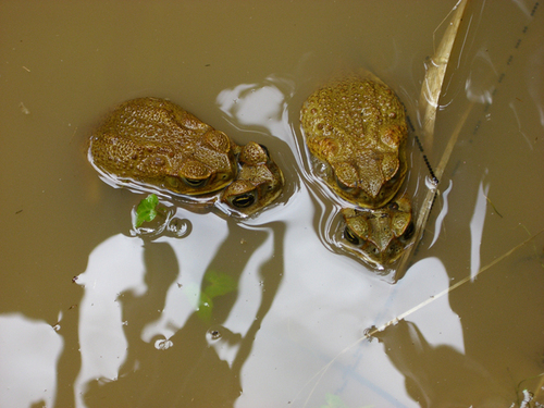 Lurking toads